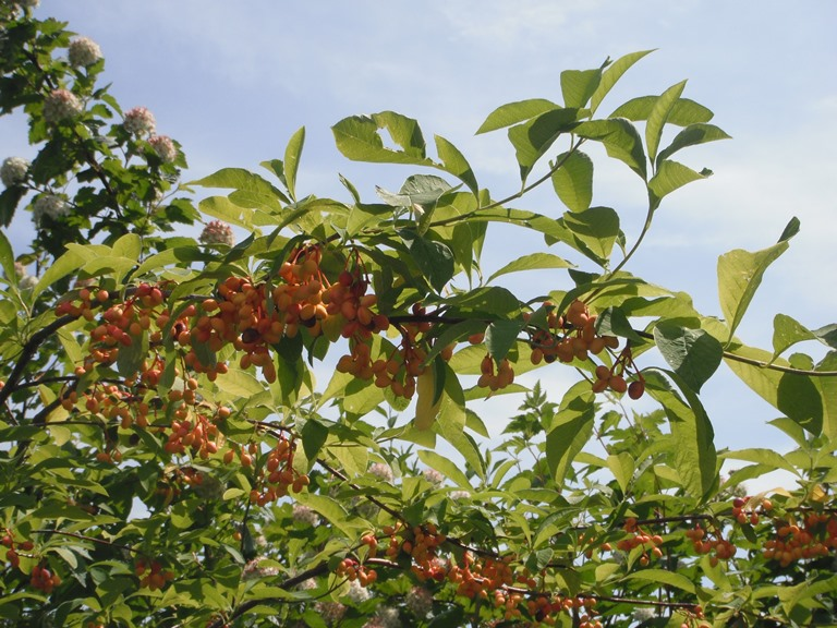 Indian Plum, Oemleria cerasiformis | Native Plants PNW