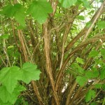 Ninebark bark
