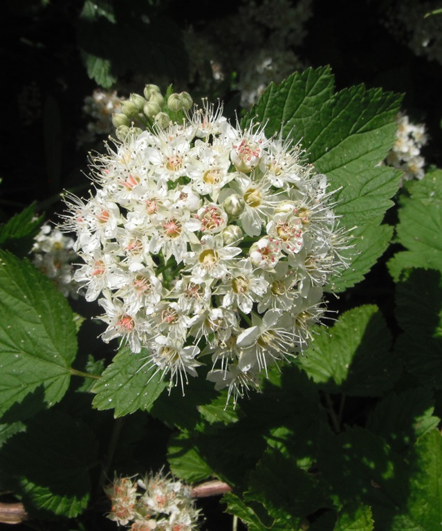 Ninebark flower cluster