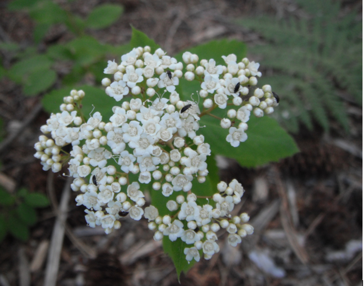 Insects on Shiny Spiraea inflorescence