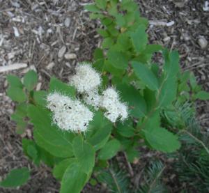 Spiraea lucida plant
