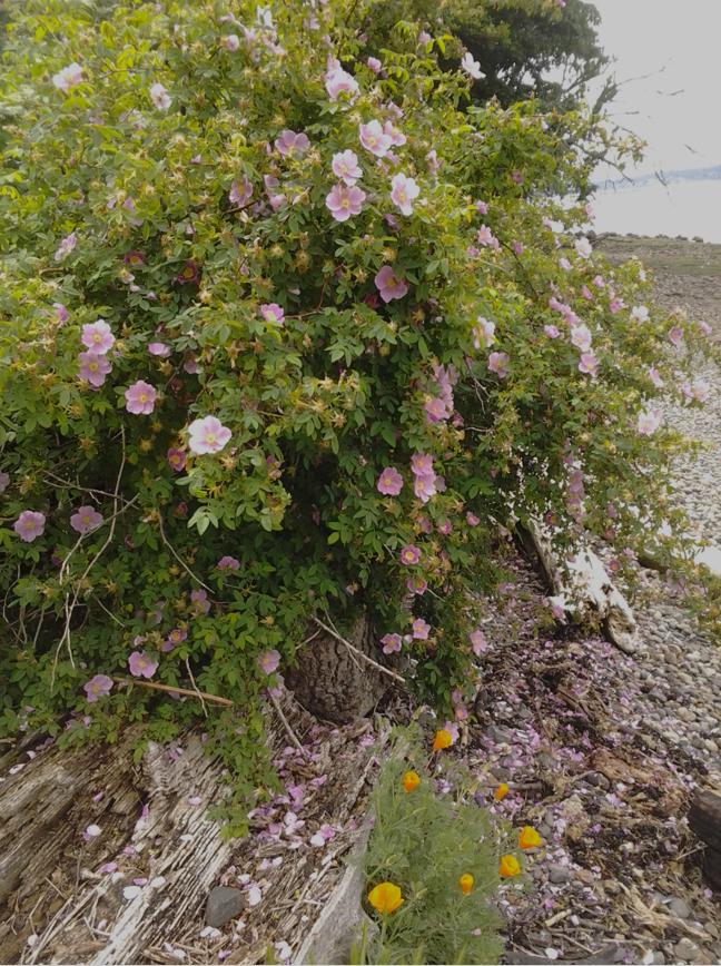 Rosa nutkana beach