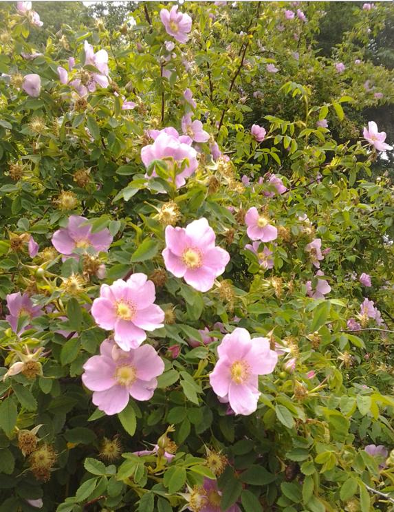 Rosa nutkana flowers