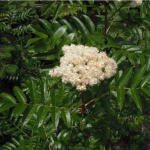 Sorbus scopulina flower
