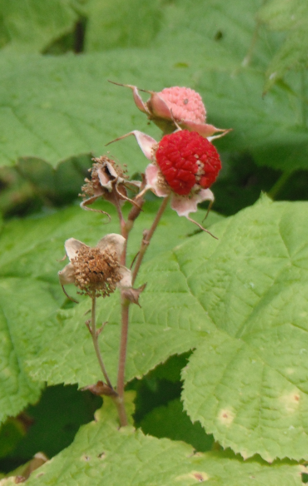 Thimbleberry fruit2