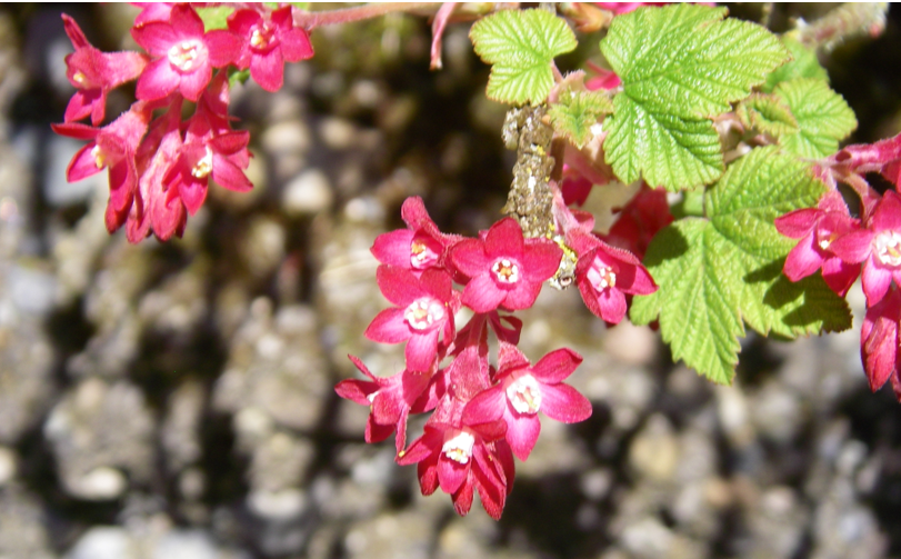 Red flowering currant flowers