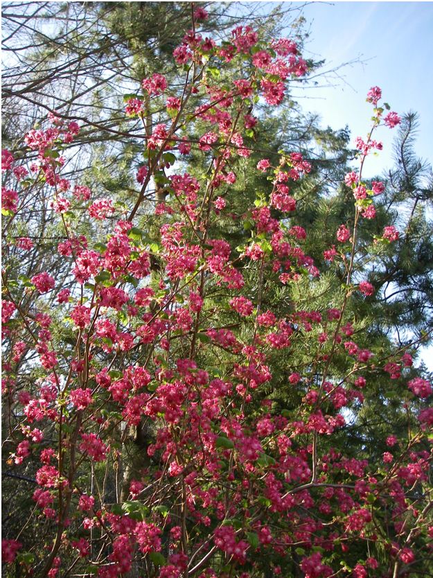 Red flowering currant shrub