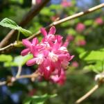 Ribes sanguinium flower cluster