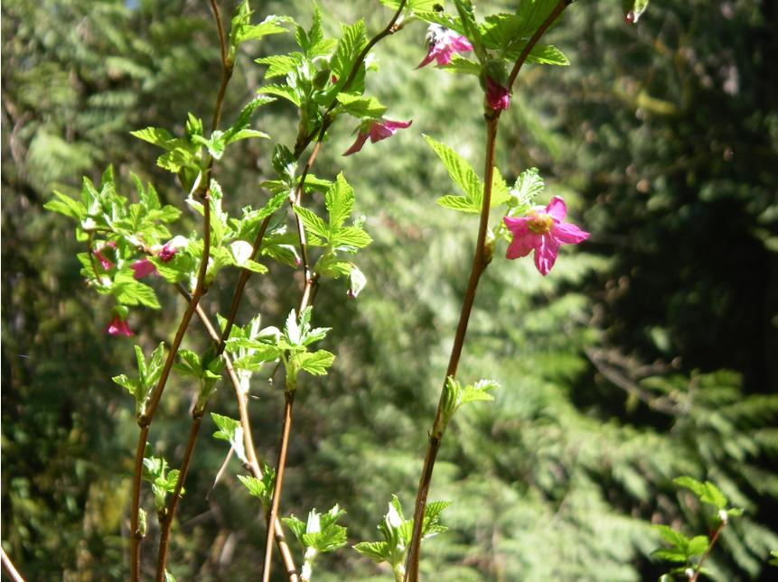 Rubus spectabilis canes