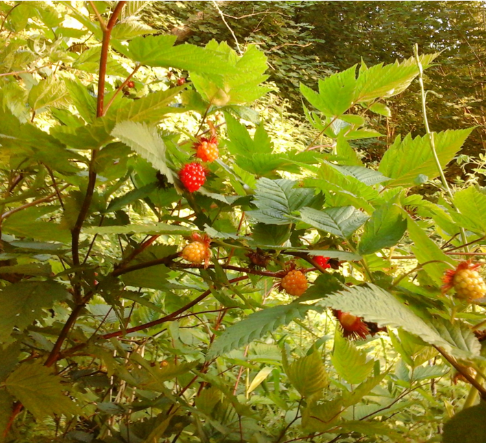 Salmonberry berries