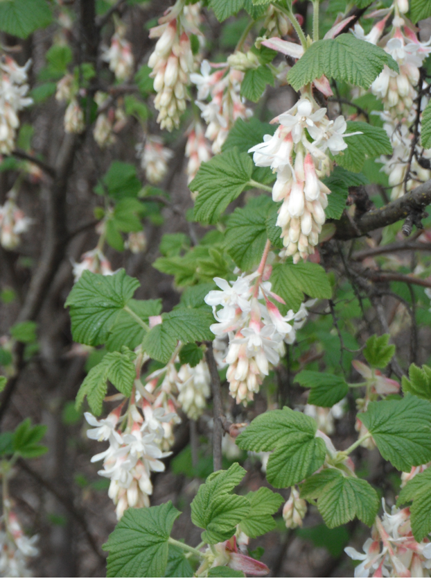 White red flowering currant