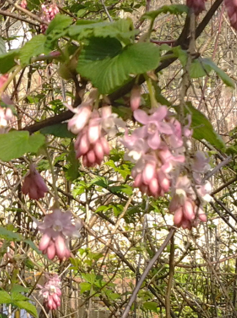 light pink red flowering currant3