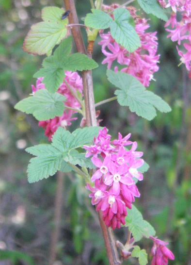 Red flowering currant ribes sanguineum native plants pnw flower color variations mightylinksfo