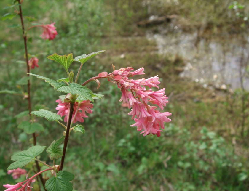 pink red flowering currant2