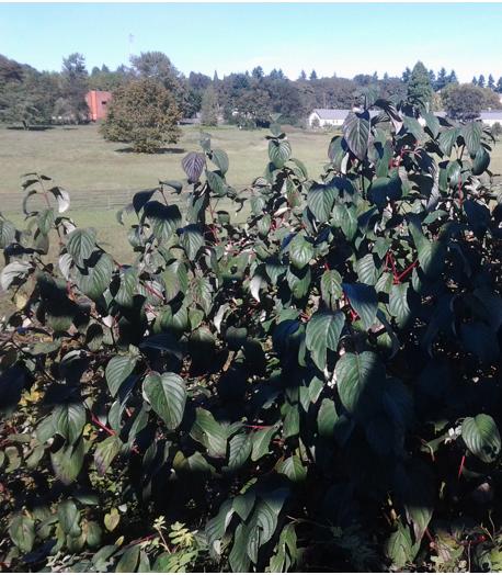 cornus-sericea-shrub