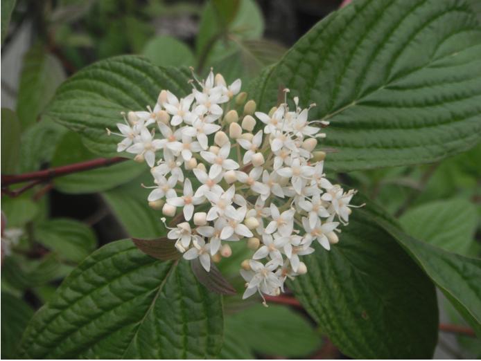 Red Twig Dogwood Cornus Sericea Native Plants Pnw