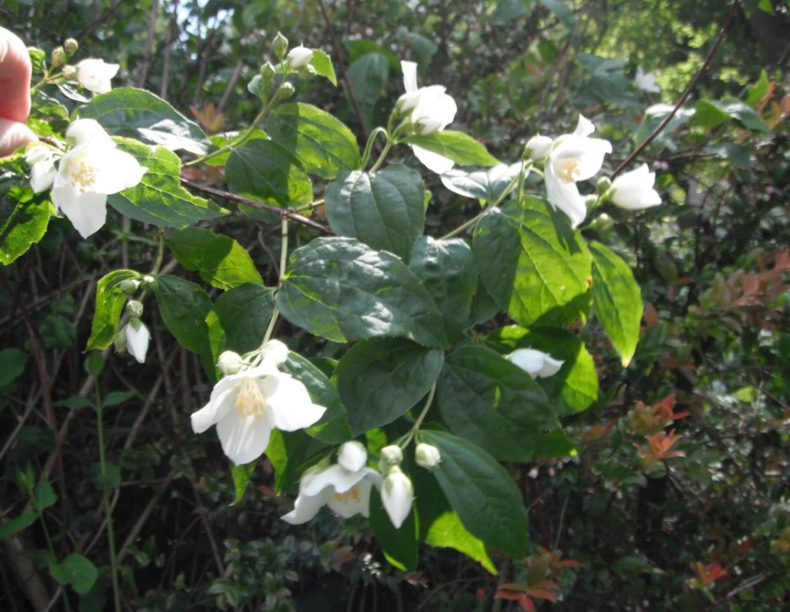 philadlphus-lewisii-flowers