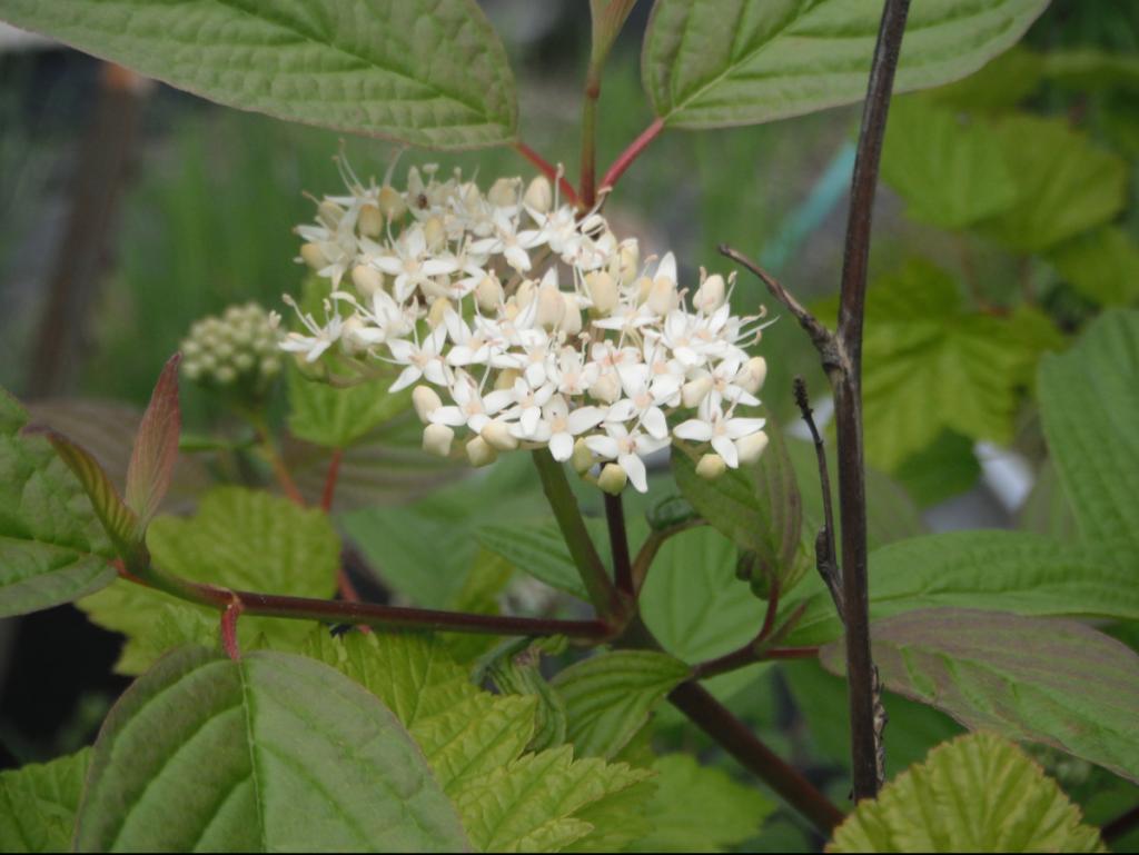 red-twig-dogwood-flowers