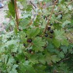ribes-lacustre-berries