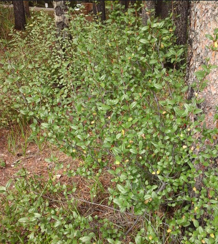 shepherdia-canadensis-shrub