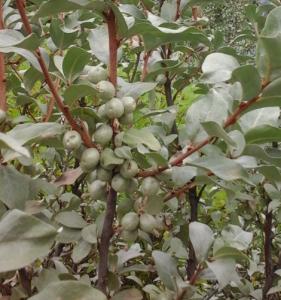The related species Silverberry, Elaeagnus commutata