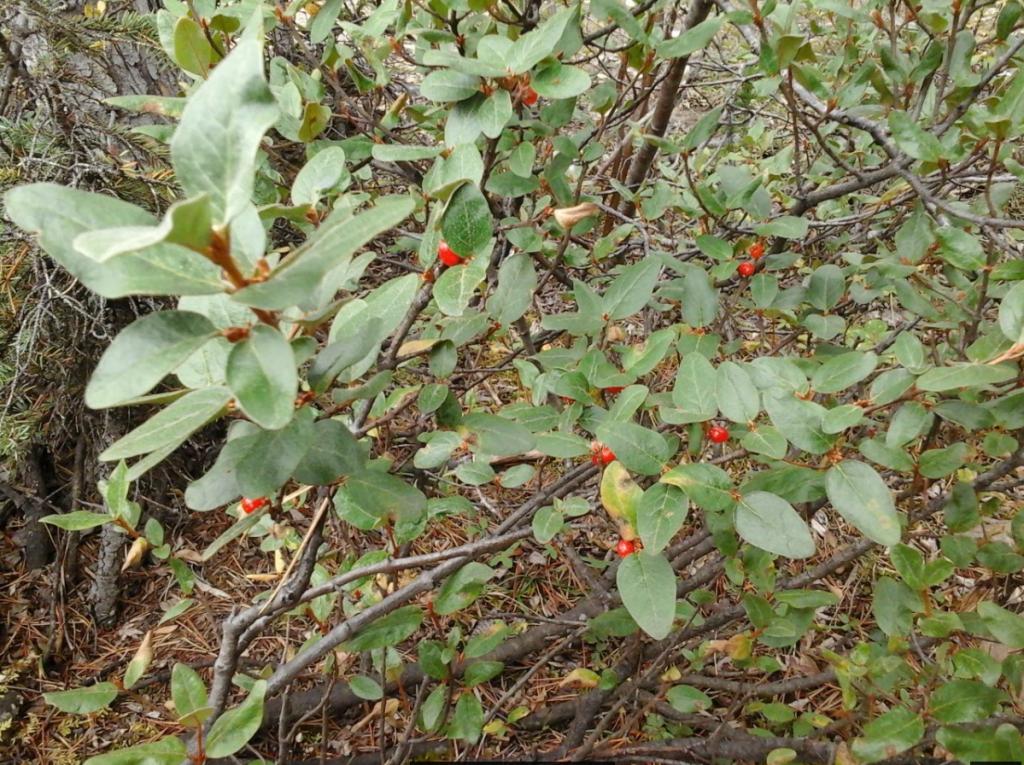 soapberry