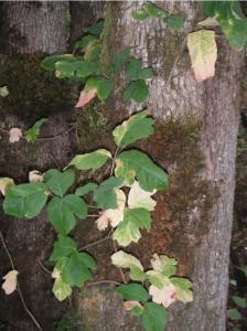 climbing-poison-oak