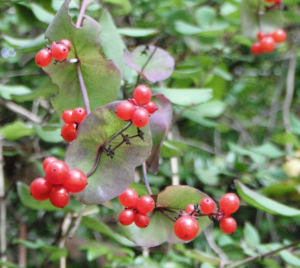 Fruits are translucent red berries.