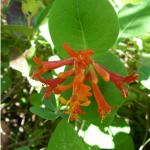 Lonicera ciliosa flower cluster