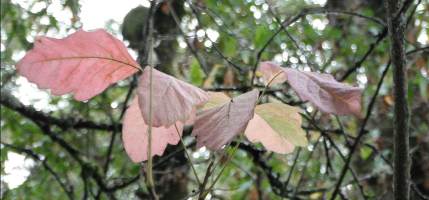 Poison Oak has attractive Pink leaves in Autumn.