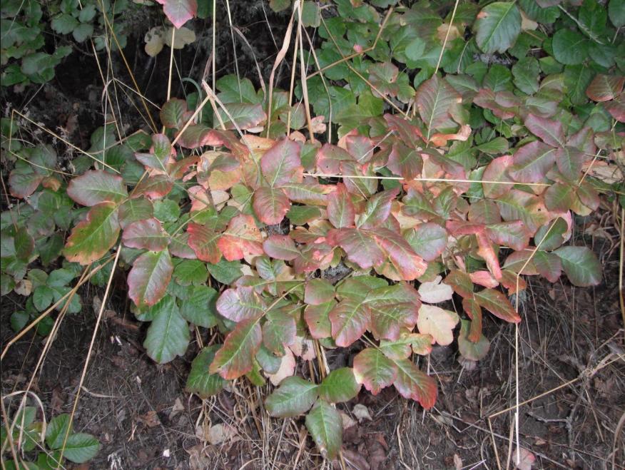 toxicodendron-diversilobum-plant