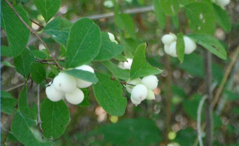 Small Snow berries Plug