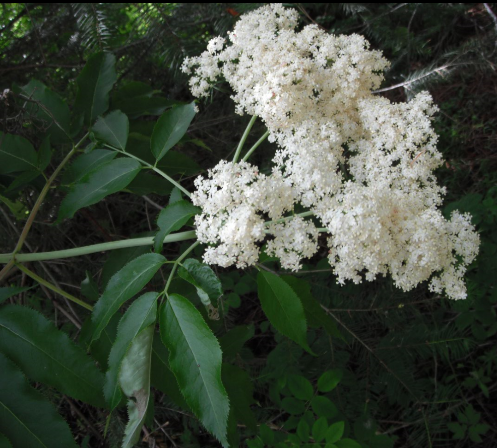 Deciduous shrubs vines native plants pnw small creamy white flowers are borne in flat topped clusters berries are bluish black mightylinksfo