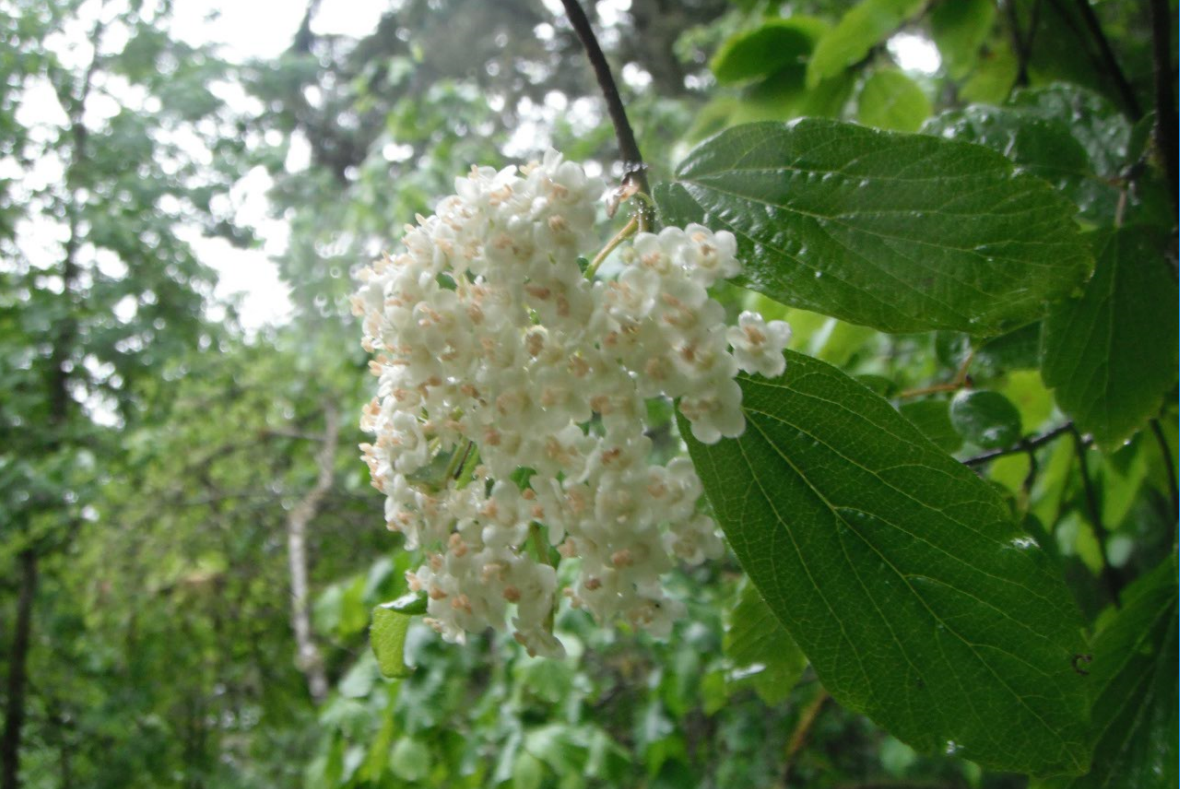 Oval Leaved Viburnum Viburnum Ellipticum Native Plants Pnw
