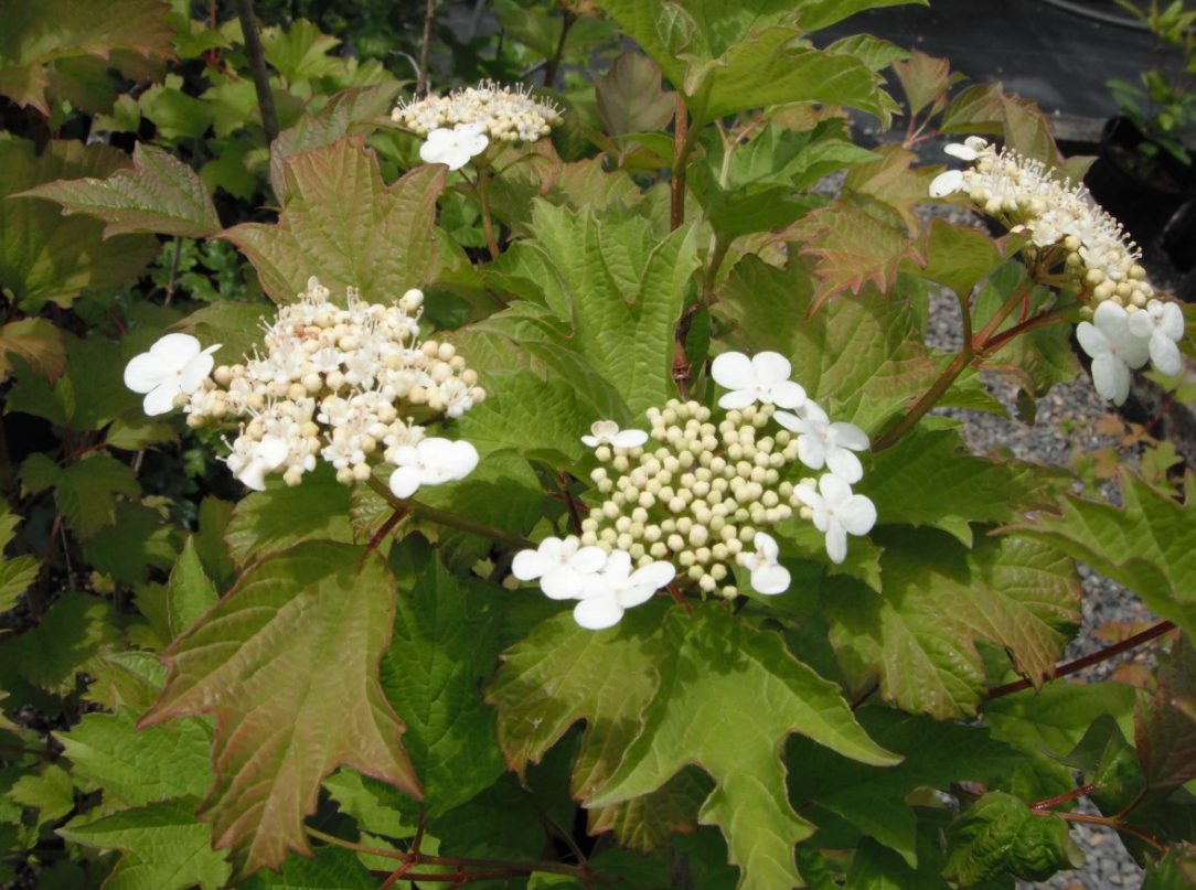 d61398e9985c The species and some of it s cultivated varieties are known in in other  parts of the world as Guelder Rose