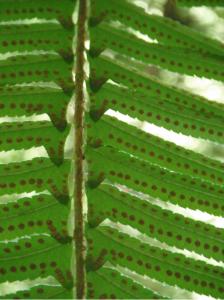 Western Sword Fern, Polystichum munitum | Native Plants PNW