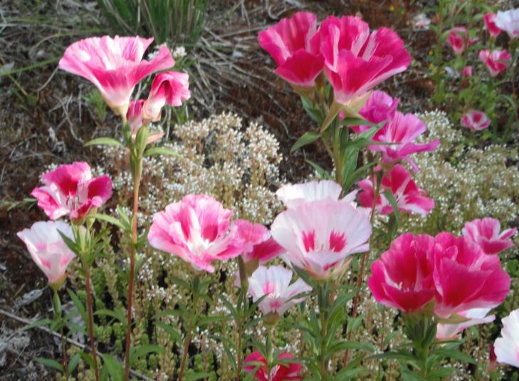 Wildflower Seed List Native Plants Pnw